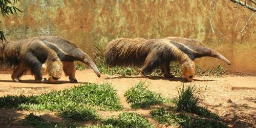 Pretty anteaters
