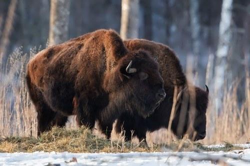 Pretty bison