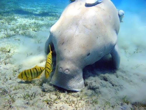 Pretty dugong