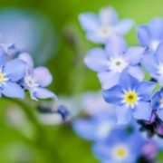 Pretty forget-me-nots