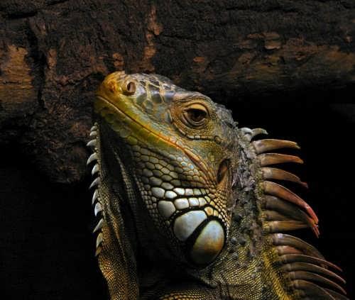 Pretty iguana