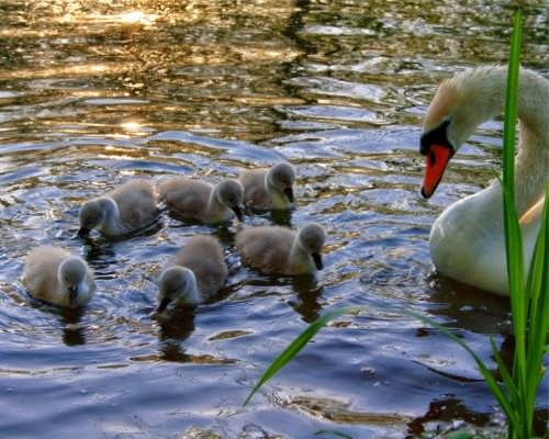 Pretty swans