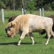 Rare bison-albino