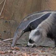 Stunning anteater