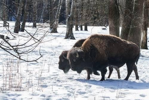 Stunning bison