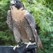 Stunning falcon
