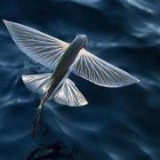 Stunning flying fish
