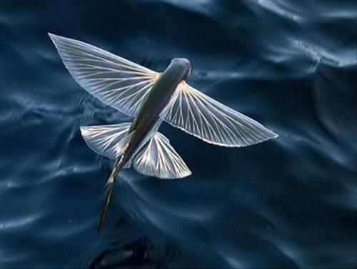 Stunning flying fish