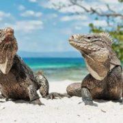 Stunning iguanas