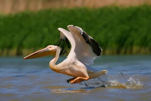 Stunning pelican
