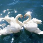 Swans – Birds of Beauty, Grace, and Speed