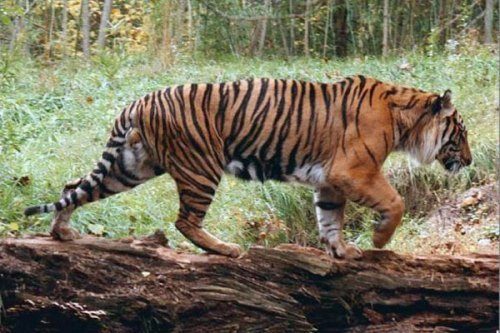 The Caspian tiger disappeared in 1970