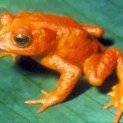 The last Golden frog was seen in 1989