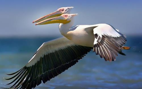 Two-headed pelican