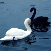 White and black swans