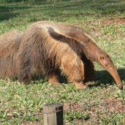 Wonderful anteater
