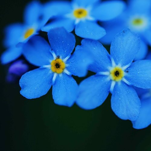 Wonderful forget-me-nots