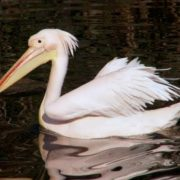 Wonderful pelican
