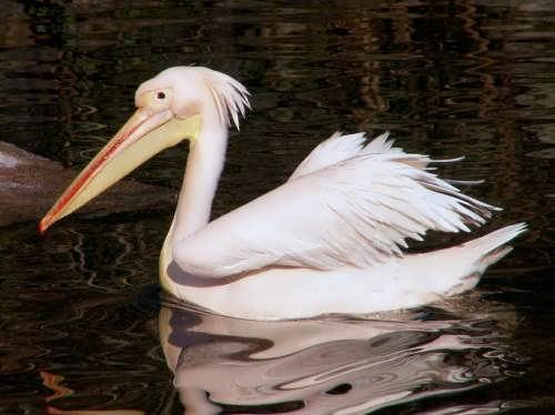 Wonderful pelican