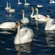 Wonderful swans