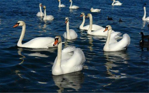 Wonderful swans