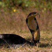 Amazing cobra