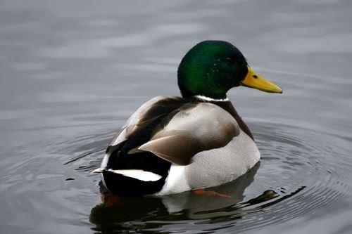 Amazing duck