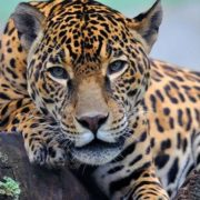 Amazing jaguar
