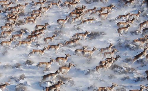 Antelopes, Canada