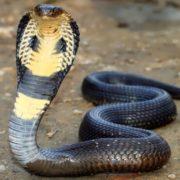 Attractive cobra