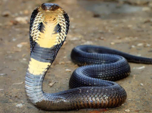Attractive cobra