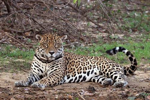 Attractive jaguar