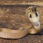 Beautiful cobra