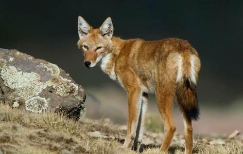 Canis simensis