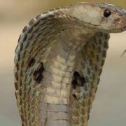 Charming cobra