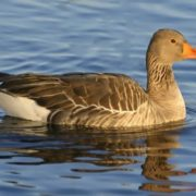 Charming duck