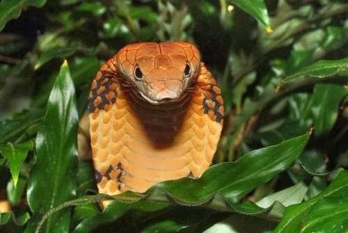 Cobra - Reptile Royalty