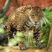Curious jaguar