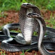 Cute cobras