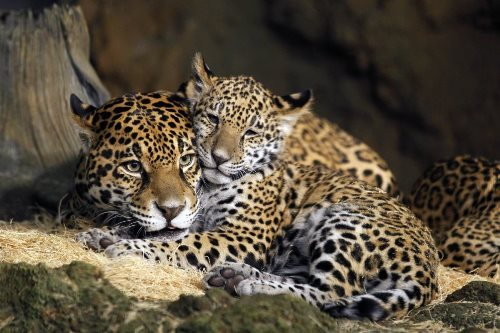 Cute jaguars