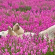 Denis Fast. This is really a polar bear in a flower field in Canada near the Hudson