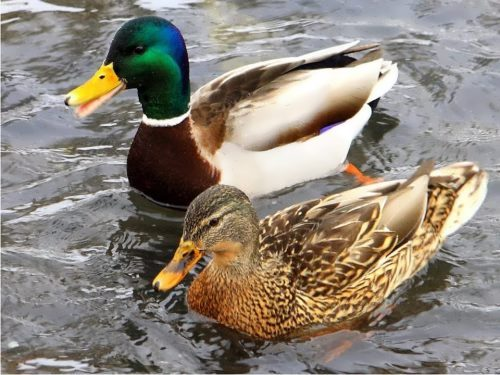 Ducks – Dabblers, Divers and Perchers