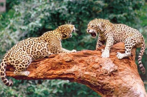 Fighting jaguars