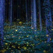 Fireflies, Japan