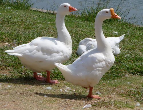 Gorgeous geese