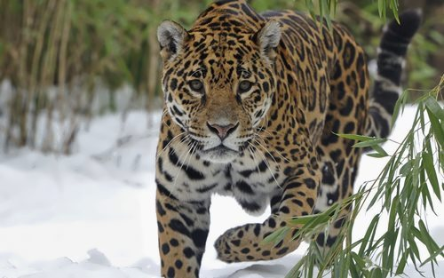 Gorgeous jaguar