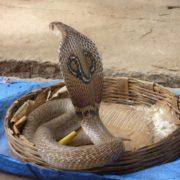 Great cobra