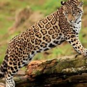 Great jaguar