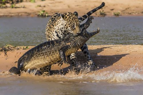 Jaguar attacks Caiman