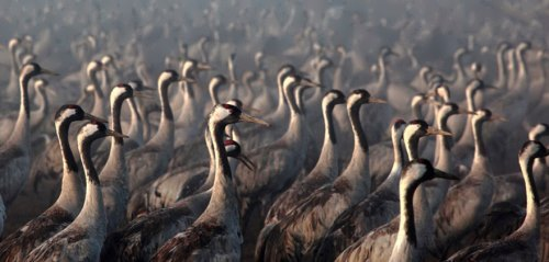 Japanese Cranes, Israel